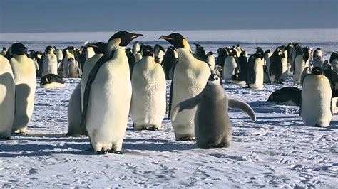 March of the Penguins: Emperor Penguins to the Funeral