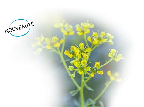Rue Officinale - Direct Fines Herbes