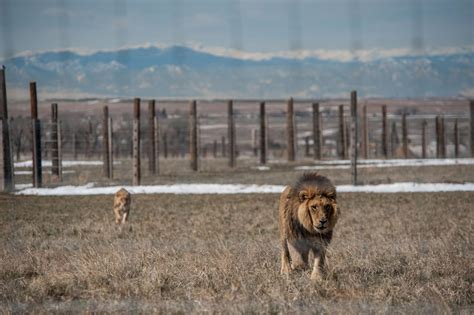 An Unlikely Home for Rescued Lions, Tigers, and Bears