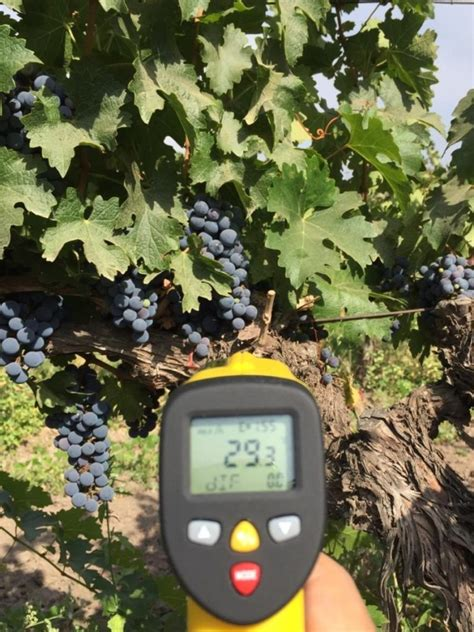 HISTORICAL HARVEST DATE FOR CHILEAN CABERNET | WIP