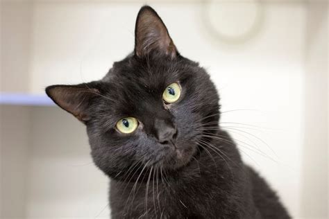 Black cats are more than bad luck and witches