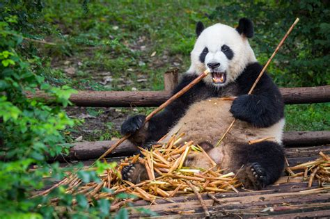 China has announced plans for a huge giant panda reserve