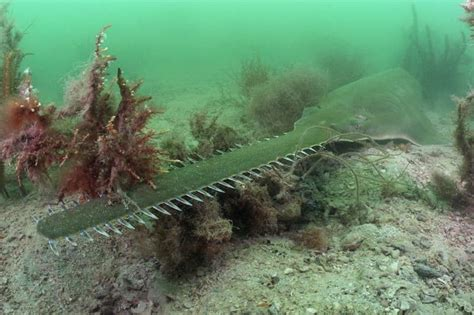 Sawfish is first vertebrate known to clone itself in the